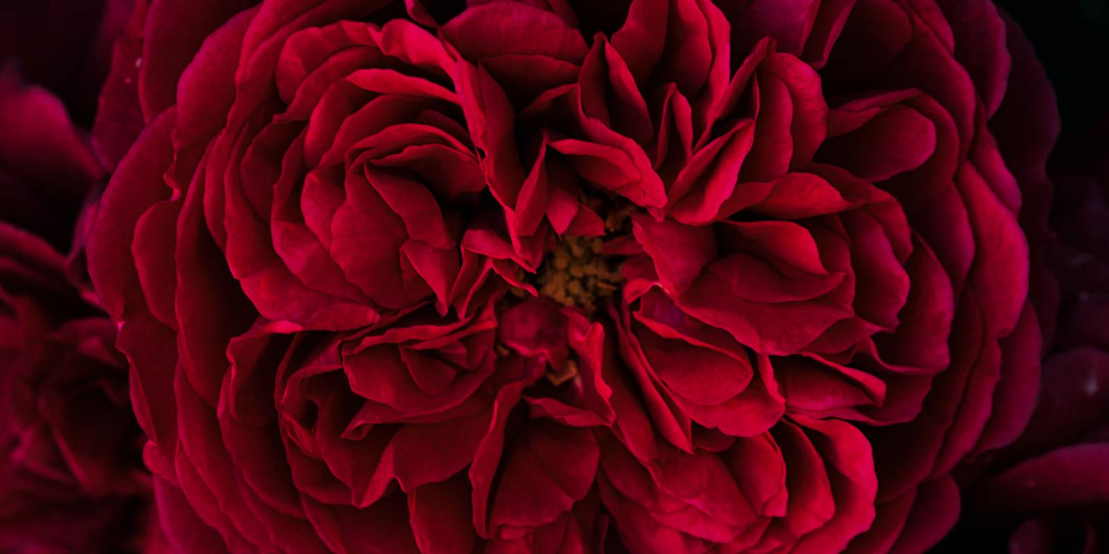 「幾重にも重なる麗しい赤い花びら」の写真