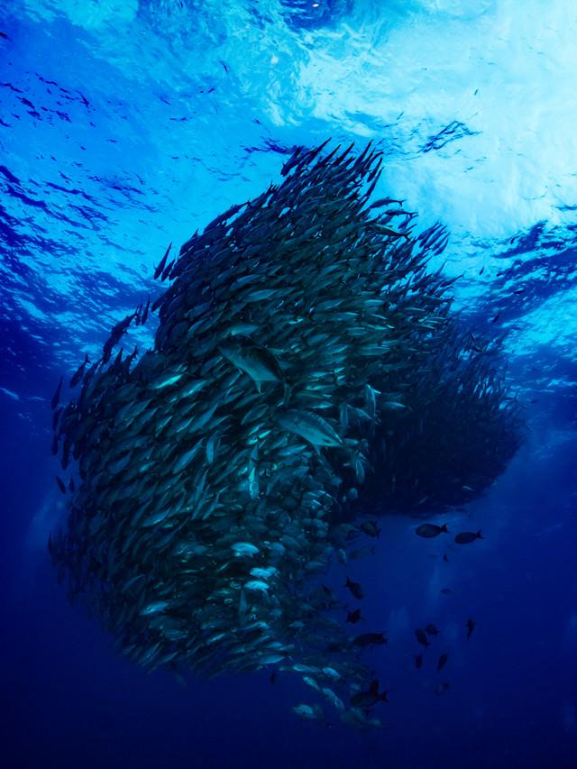 ギンガメアジの魚群トルネードの写真