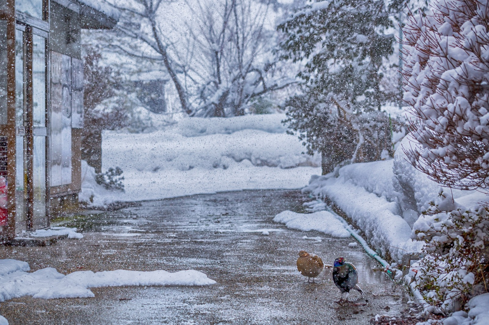 「キジ夫婦「めっちゃ雪降ってきた」キジ夫婦「めっちゃ雪降ってきた」」のフリー写真素材を拡大