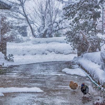 「キジ夫婦「めっちゃ雪降ってきた」」の写真素材