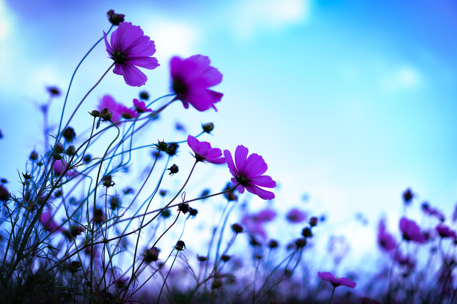 「青空に向かって咲くコスモス」の写真