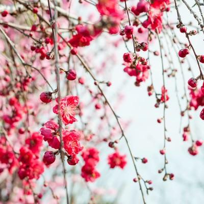 ハナモモ(花桃)の写真