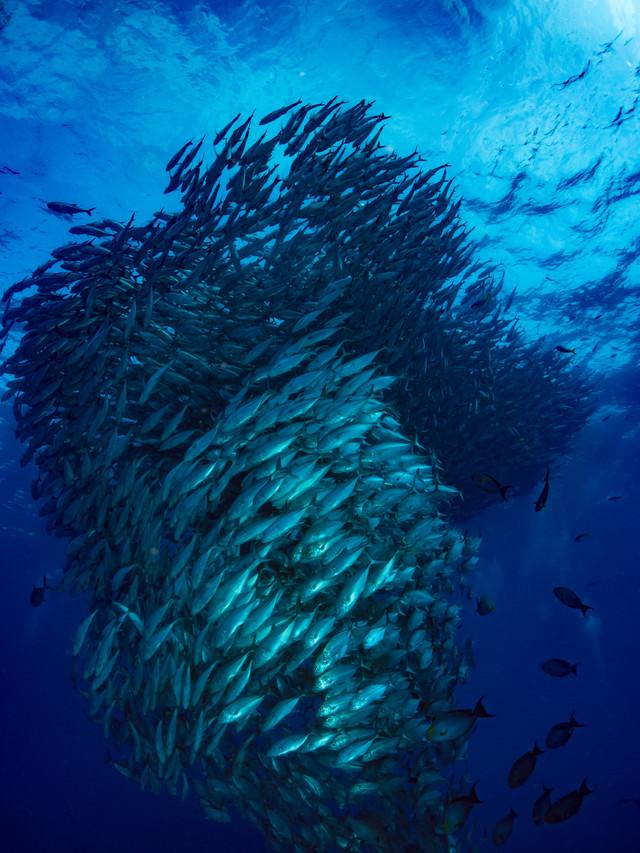 ギンガメアジの群れの様子の写真