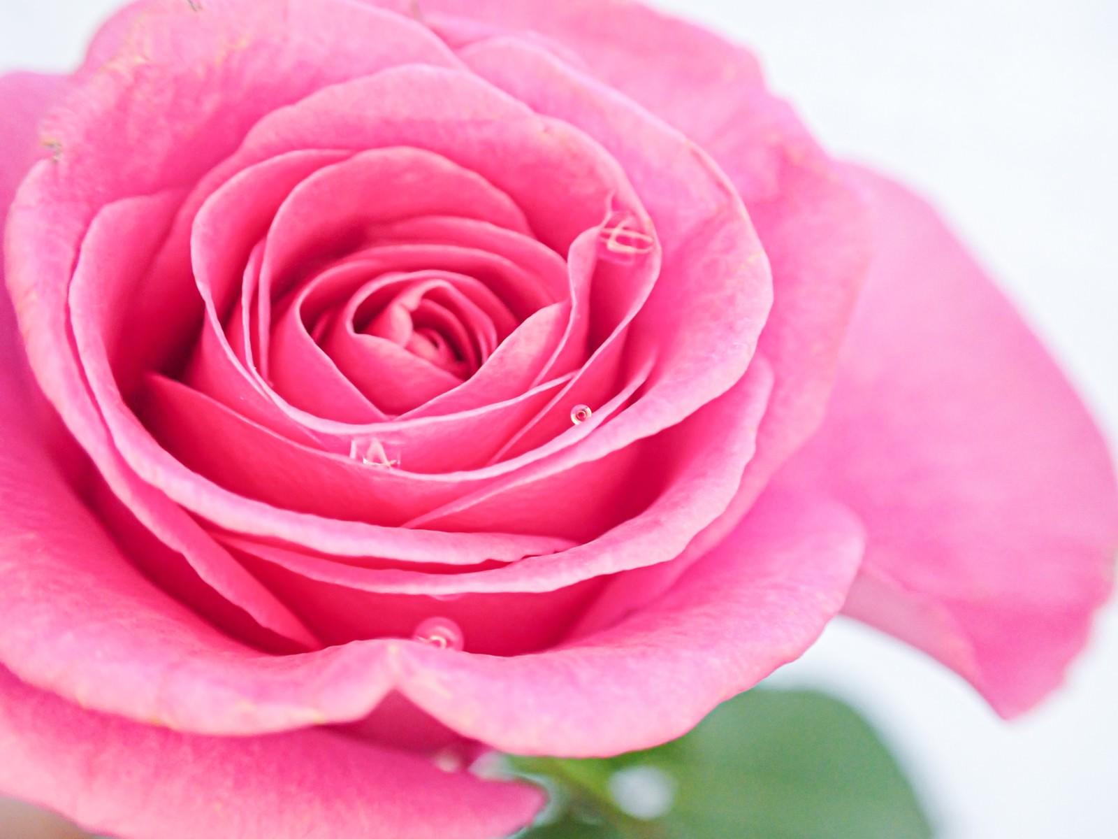 「水滴とピンク色の薔薇」の写真