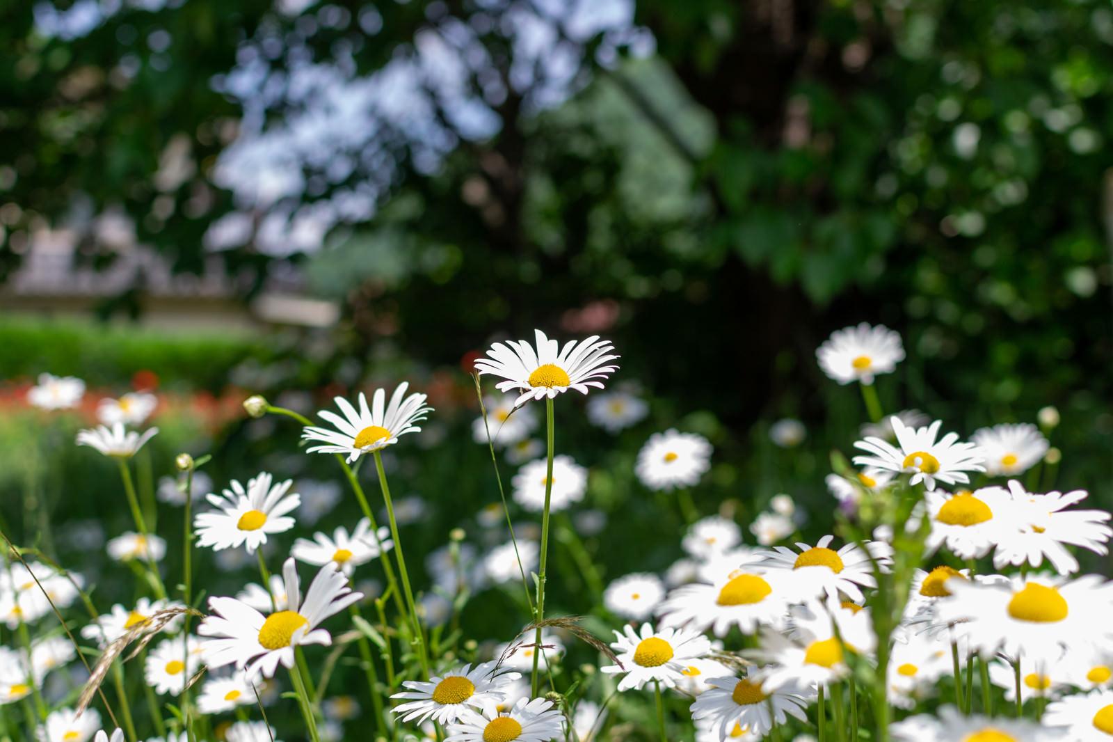 「野生の白い花(春の訪れ)」の写真