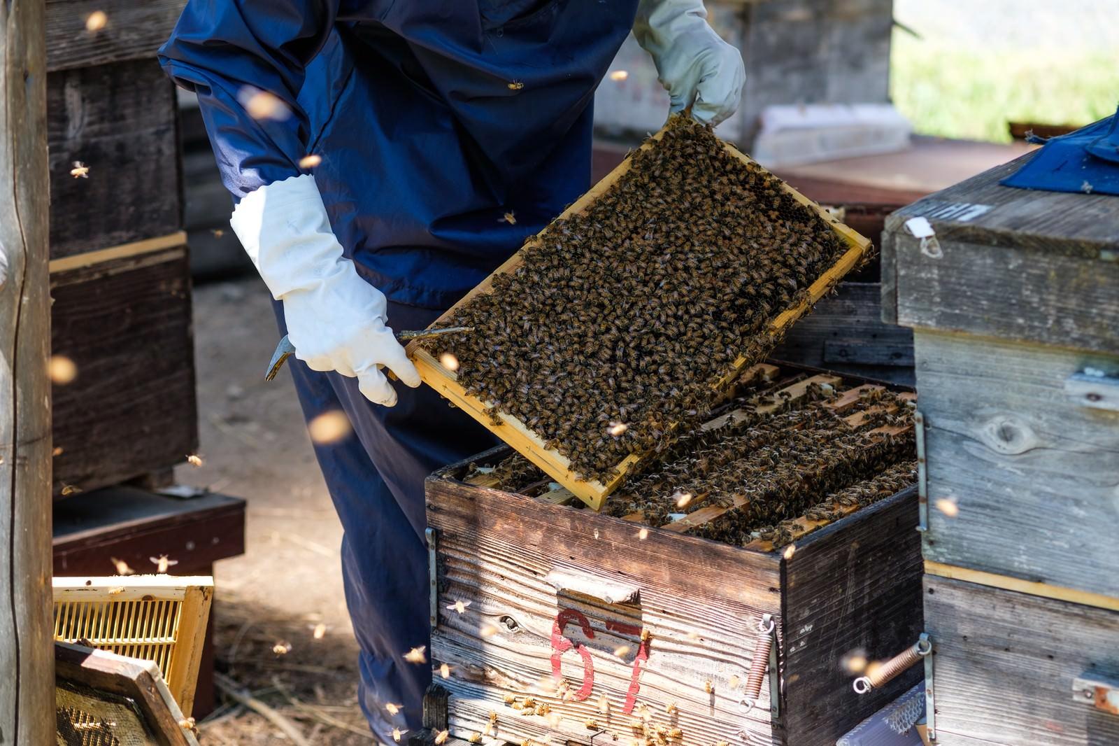 「ミツバチの巣箱の中をチェック」の写真