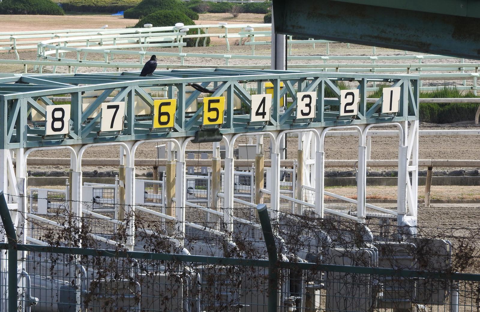 「競馬場ゲートに止まるカラス」の写真