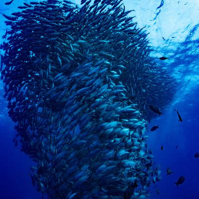 魚の群れ(ギンガメアジ)の写真