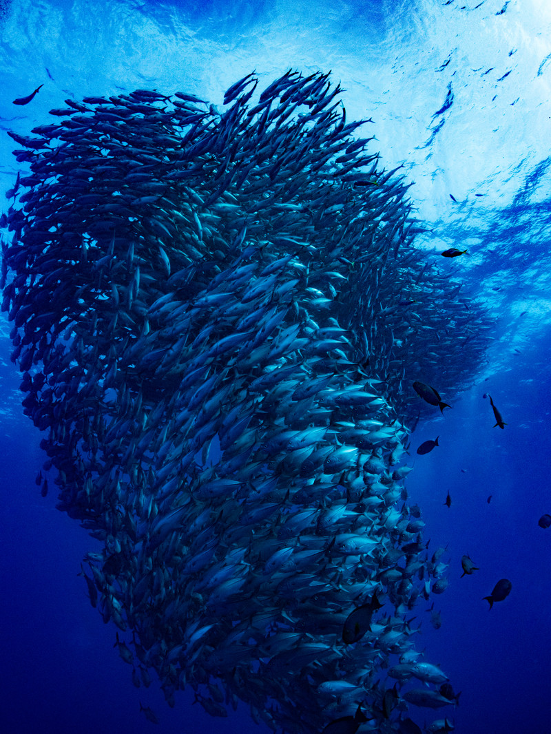 「魚の群れ(ギンガメアジ)」の写真