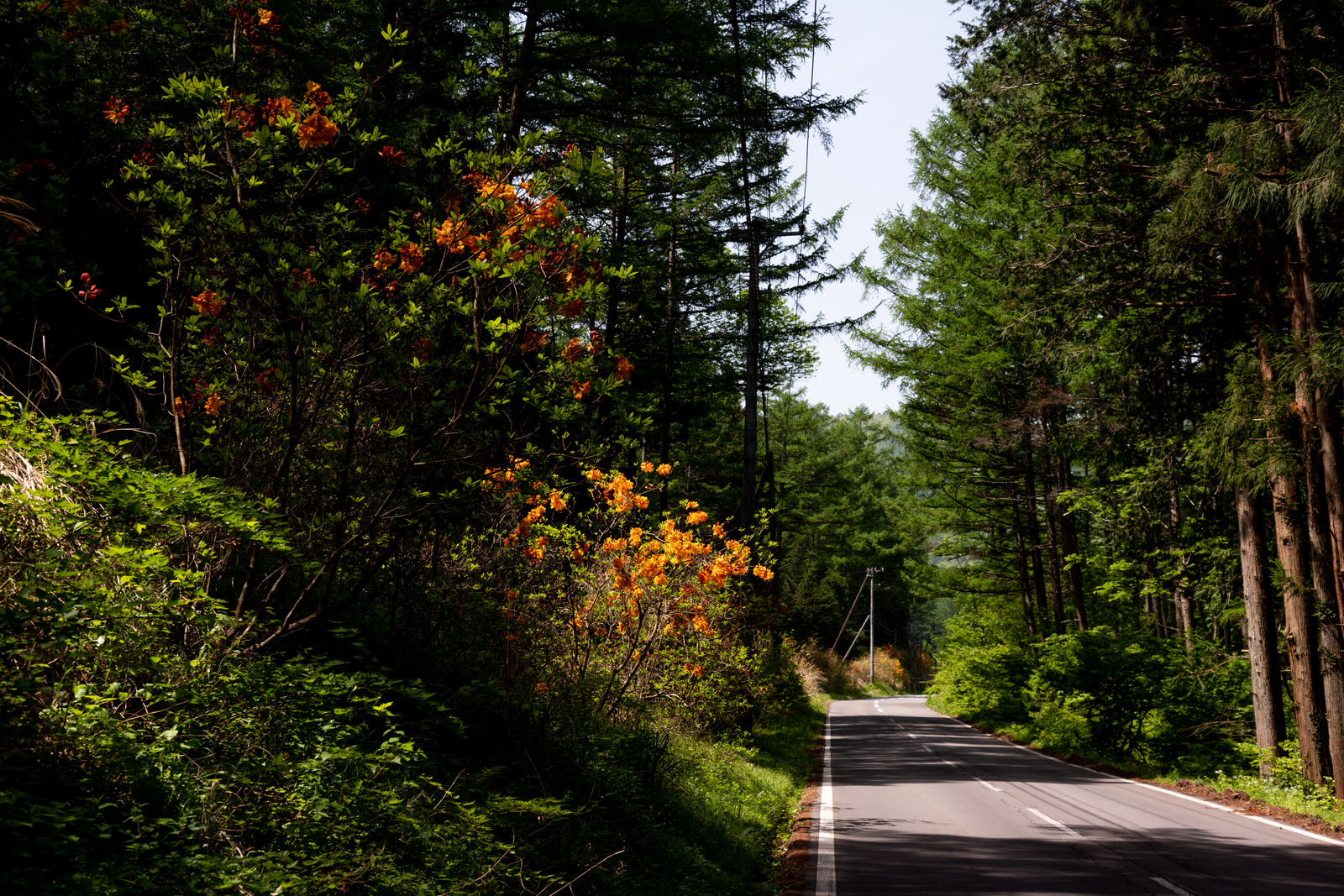 「森の車道沿いに咲くアザレア(西洋ツツジ)」の写真