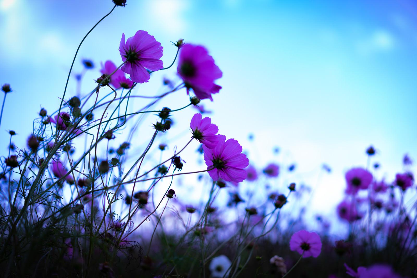 「儚い秋空とコスモス」の写真