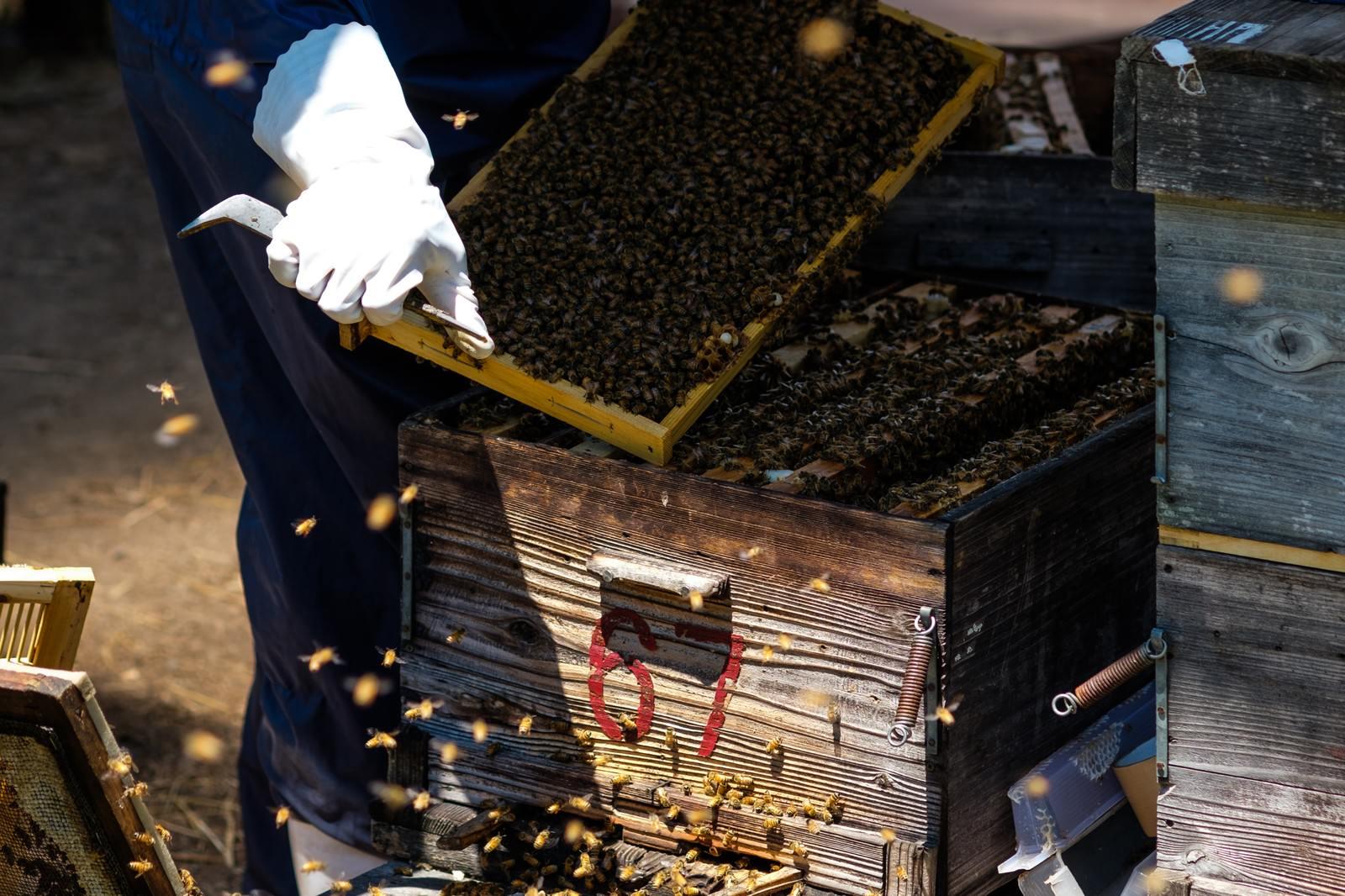 「ミツバチの巣箱をあけて巣板を確認する」の写真