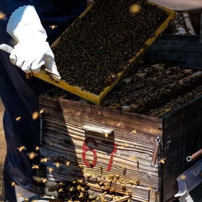 「ミツバチの巣箱をあけて巣板を確認する」の写真素材