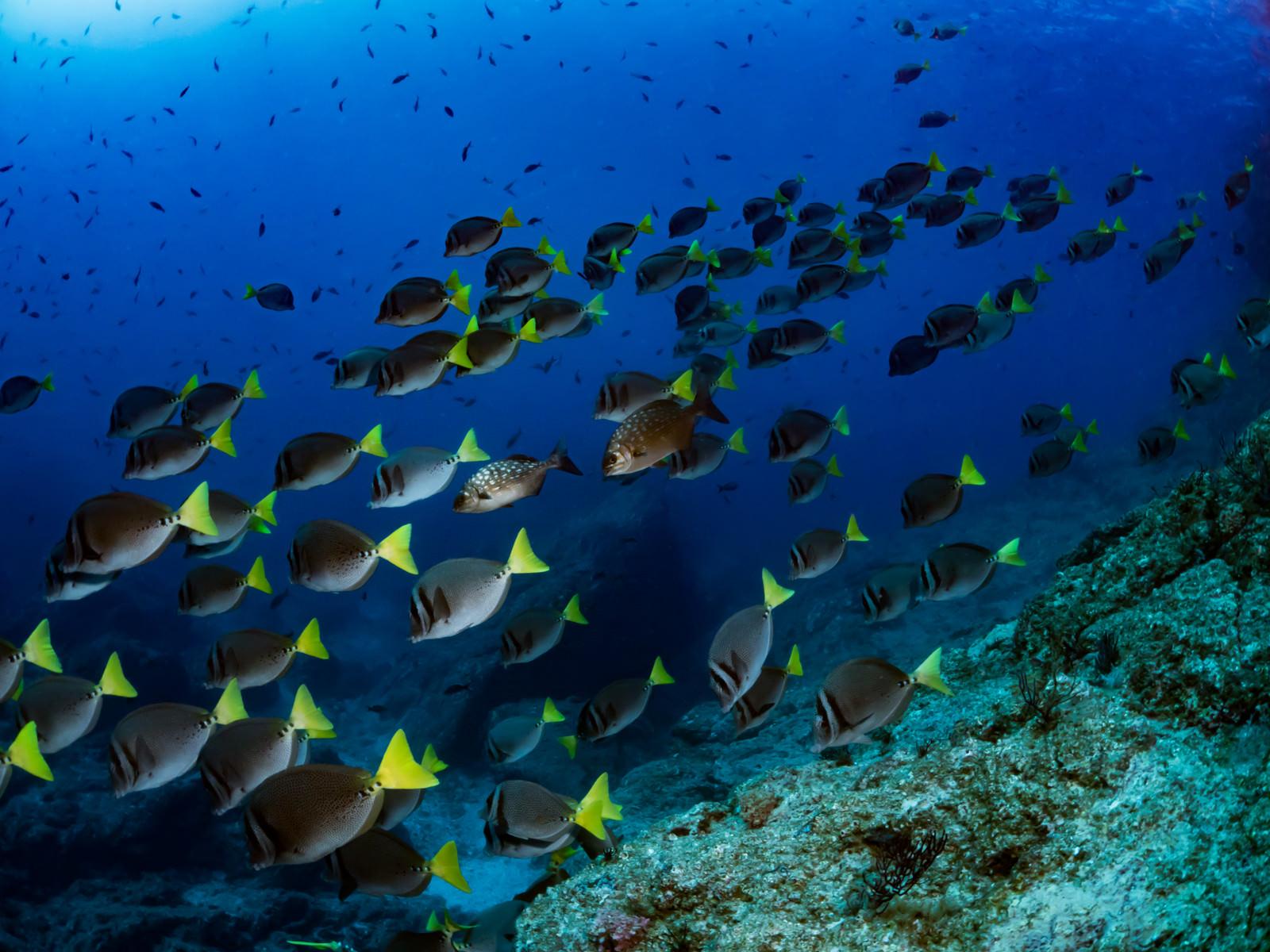 「コルテス海を泳ぐイエローテイルサージョンフィッシュの群れ」の写真