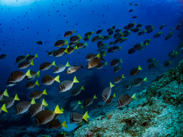コルテス海を泳ぐイエローテイルサージョンフィッシュの群れの写真