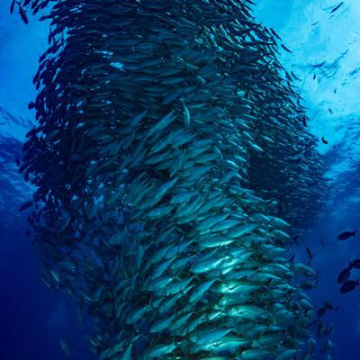 目の前を覆うギンガメアジの渦の写真