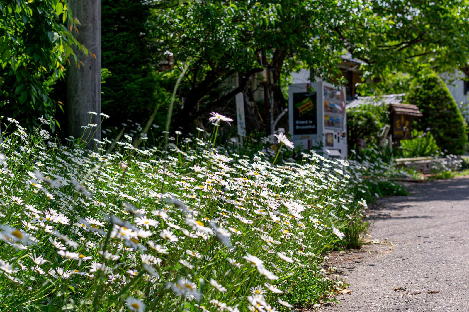 「道端に咲く白い花」の写真