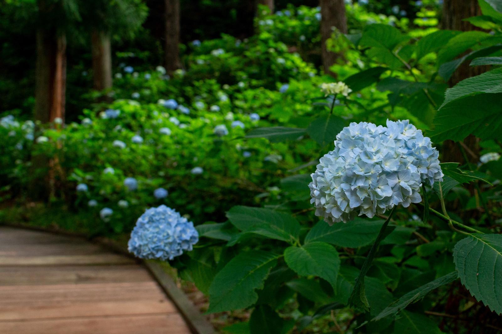 「木道沿いの紫陽花(アジサイ公園)」の写真