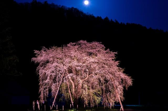 月に照らされたおしら様の枝垂れ桜の写真