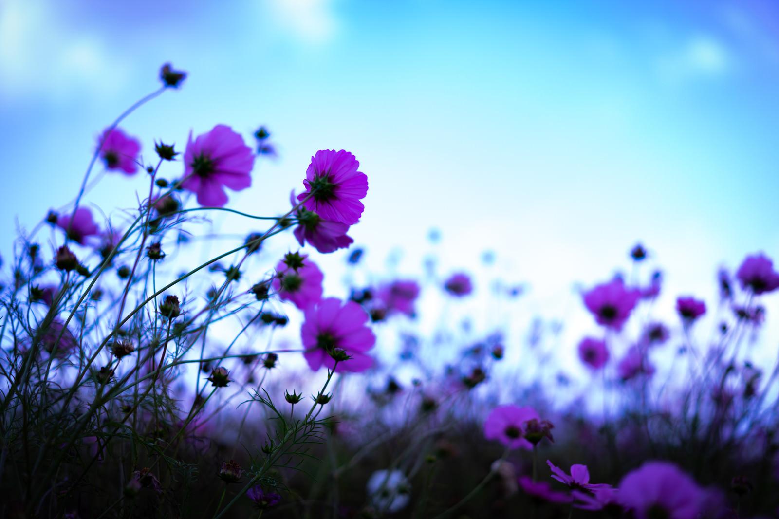 「群生する桃色のコスモス」の写真