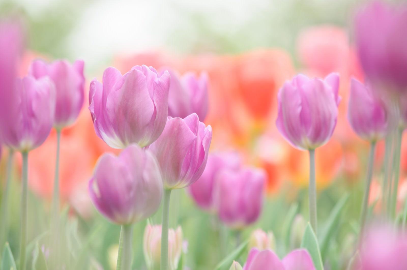 「並んで咲くチューリップ」の写真