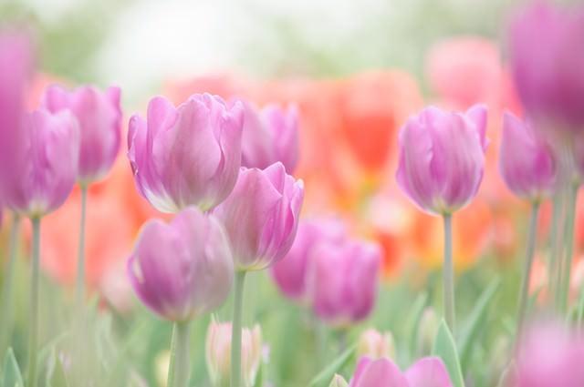 並んで咲くチューリップの写真
