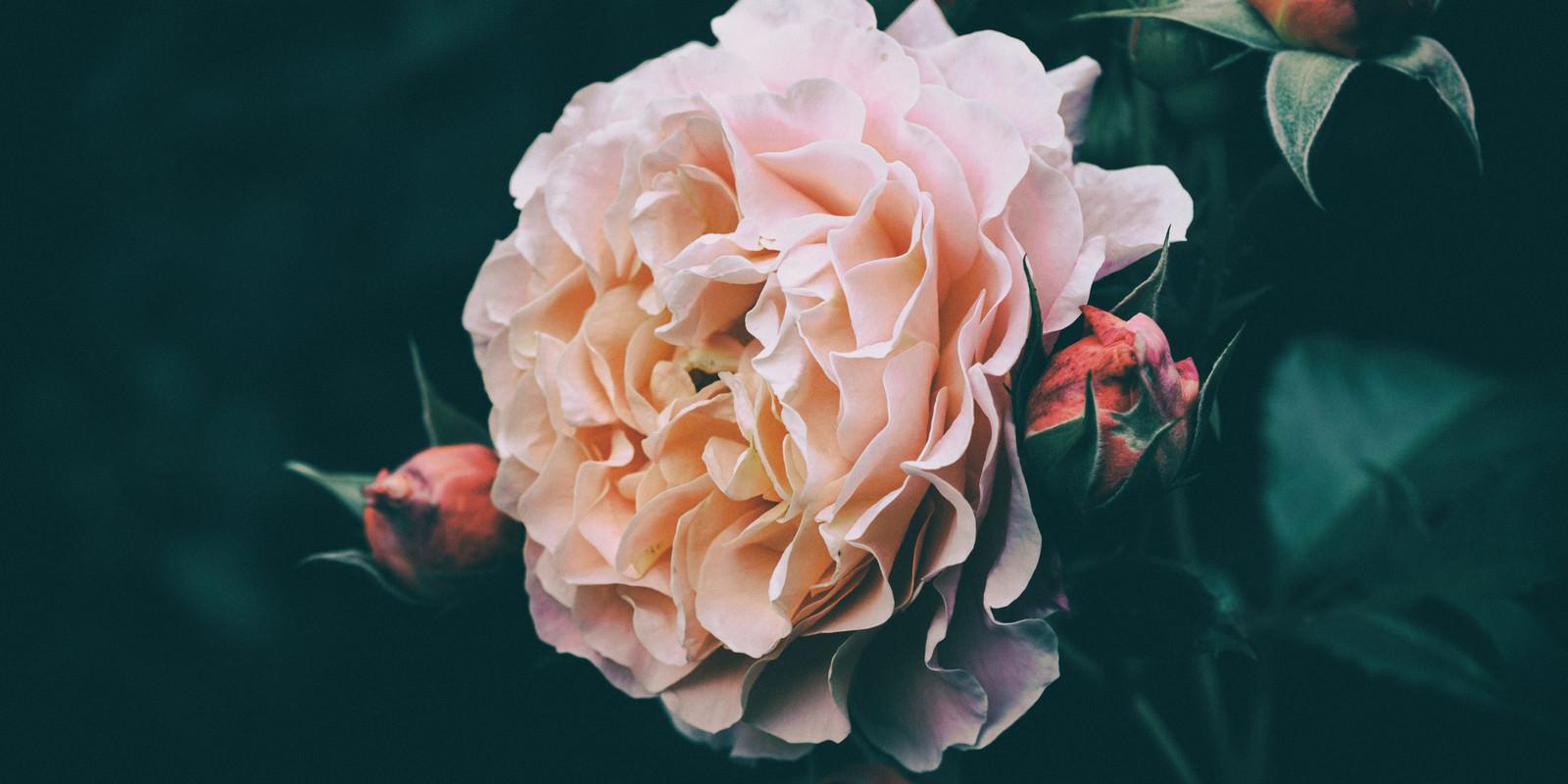 「開花する薔薇とつぼみ」の写真