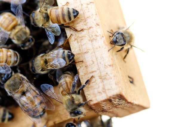 オスバチと働きバチ(左下がオスバチ)の写真