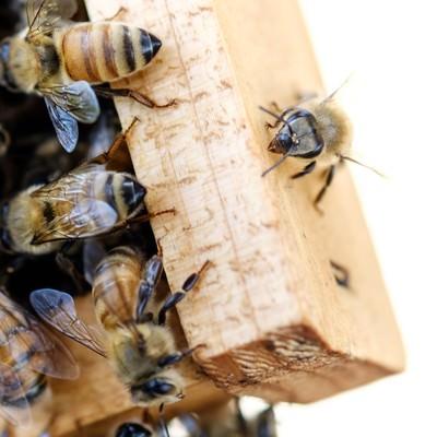 「オスバチと働きバチ(左下がオスバチ)」の写真素材
