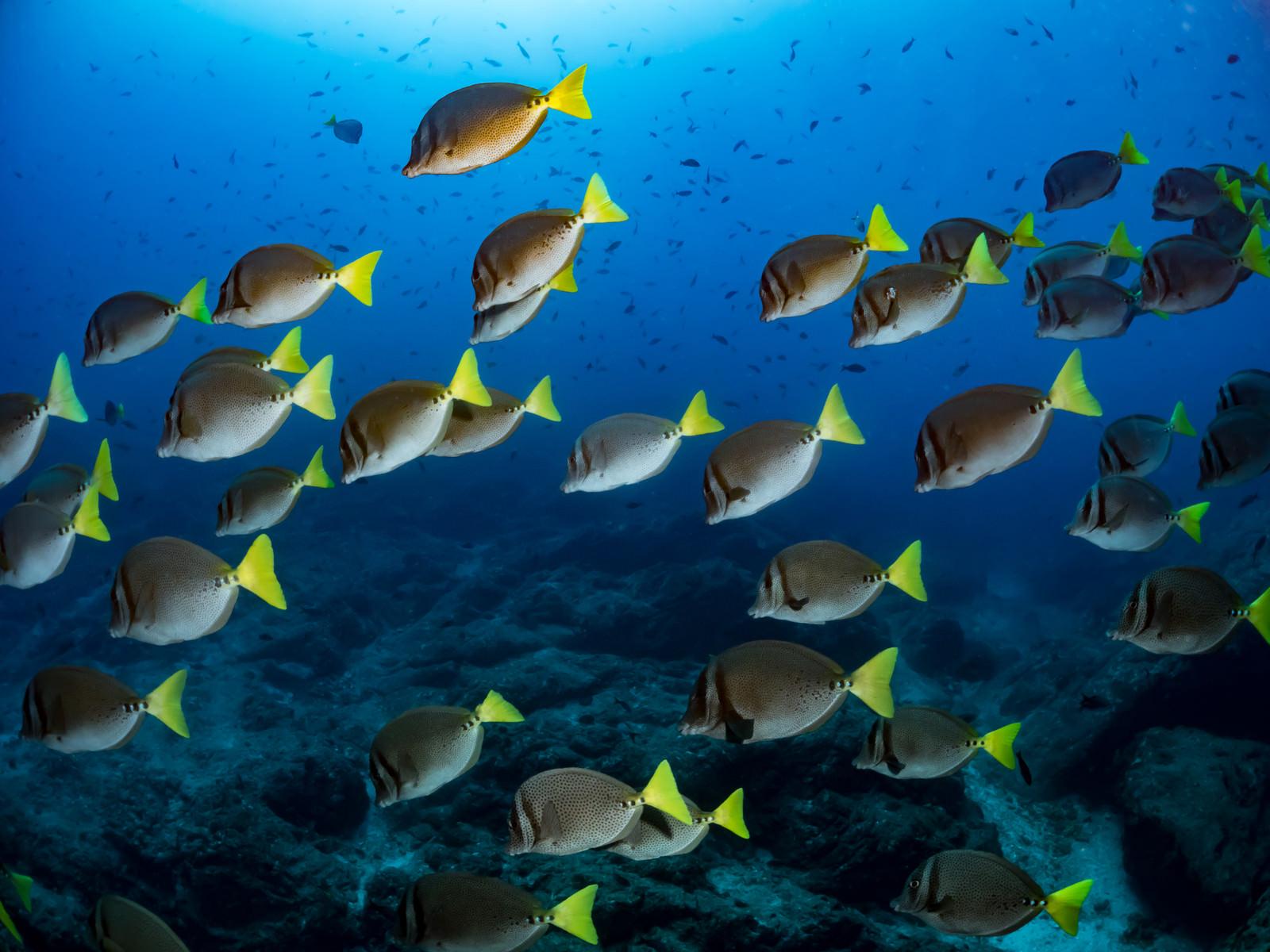 「イエローテイルサージョンフィッシュの群れ」の写真
