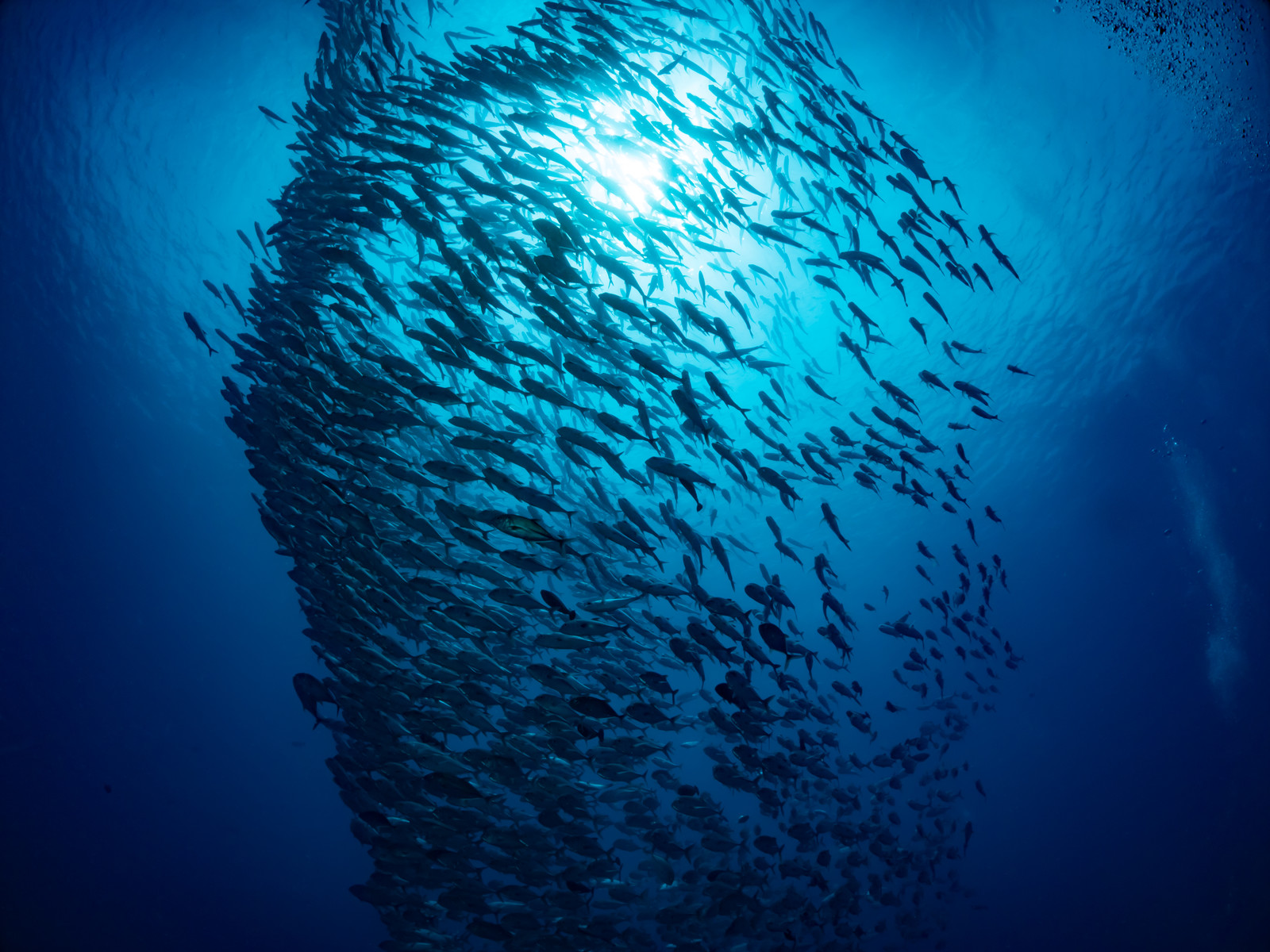 「ギンガメアジの群れ」の写真