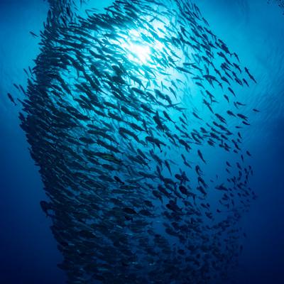 ギンガメアジの群れの写真