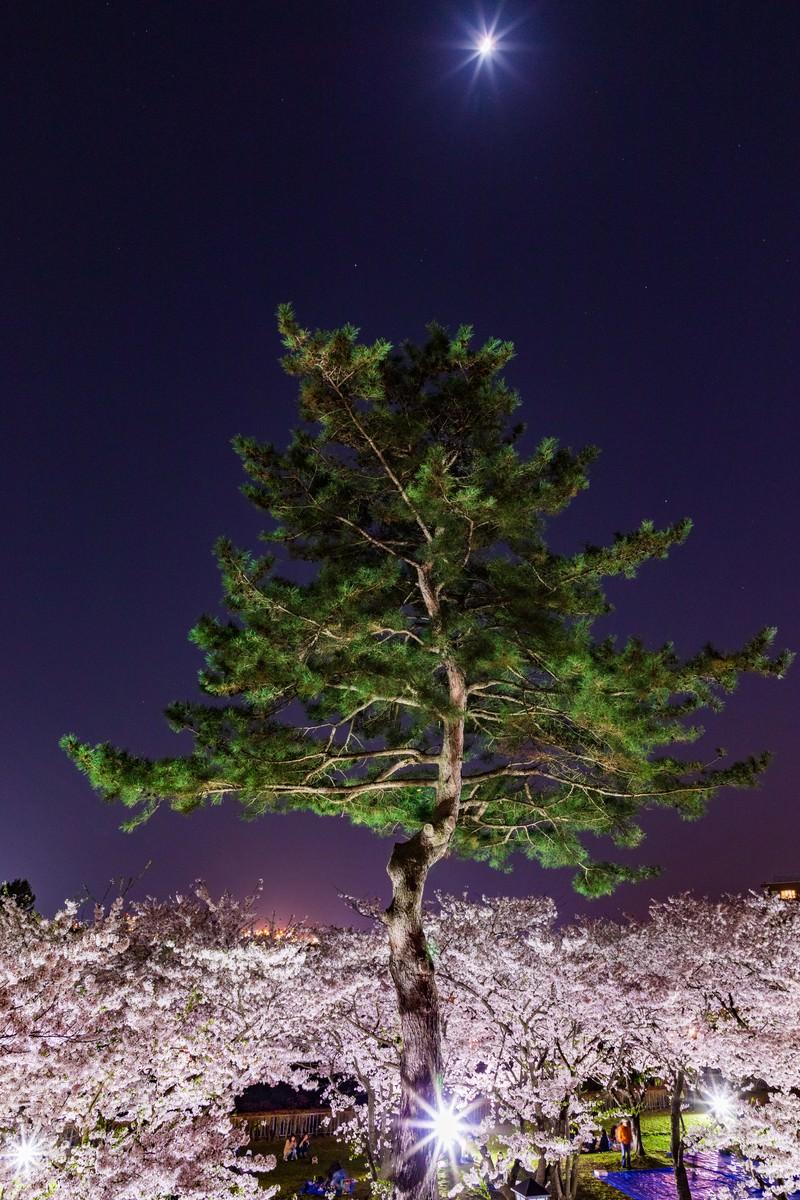 「夜桜と松と月夜桜と松と月」のフリー写真素材を拡大