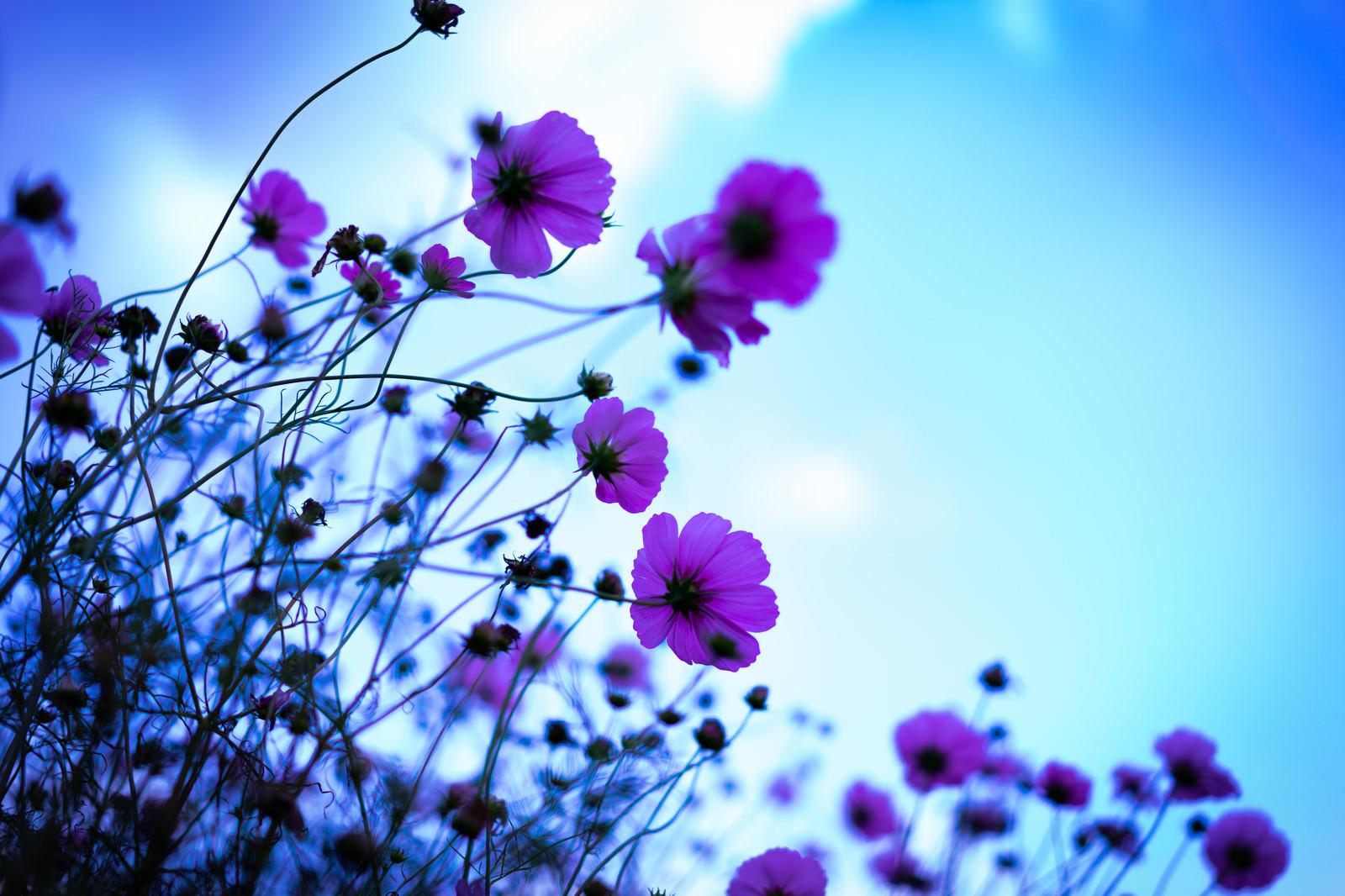 「青空に向かうコスモス」の写真