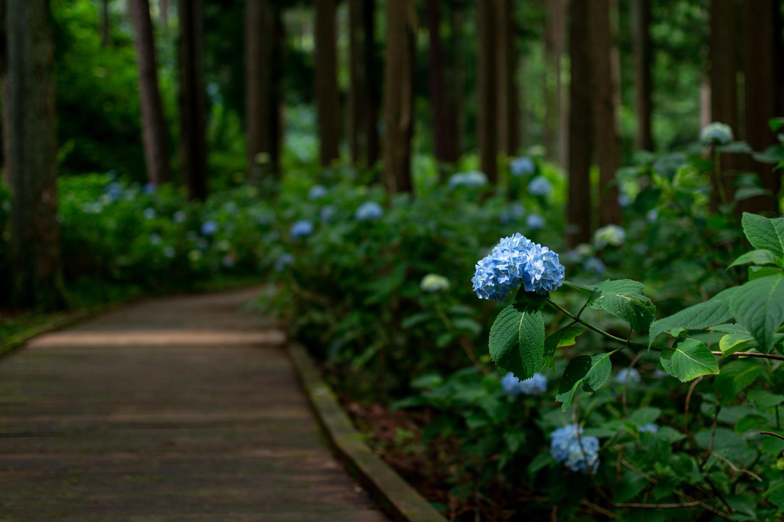 「木漏れ日に照らされる紫陽花(アジサイ公園)」の写真