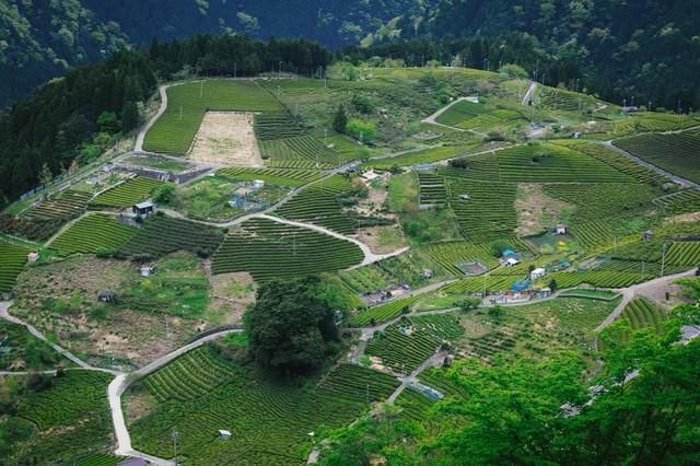 天空の茶畑と呼ばれる岐阜県上ケ流地区の写真