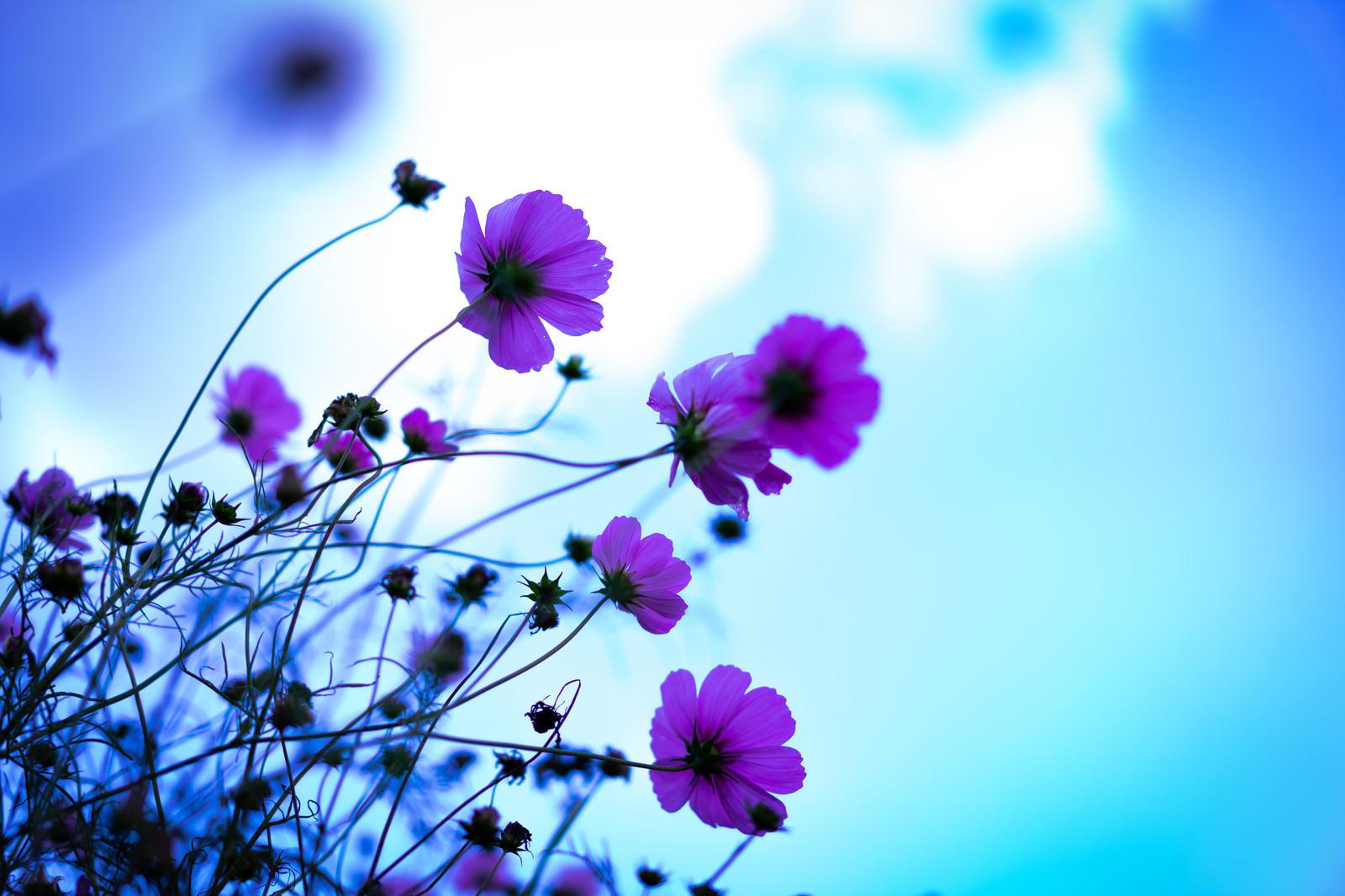 「青空が透けるコスモスの花弁」の写真
