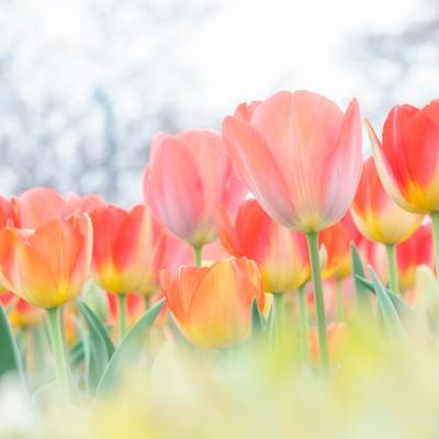 咲きそろったチューリップの写真