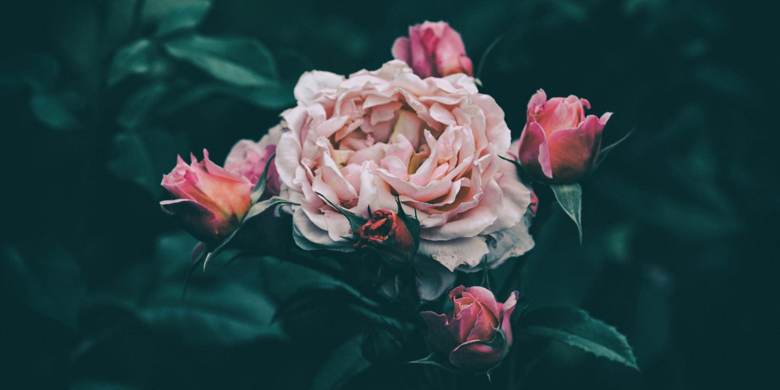 「花びらが痛むバラ」の写真