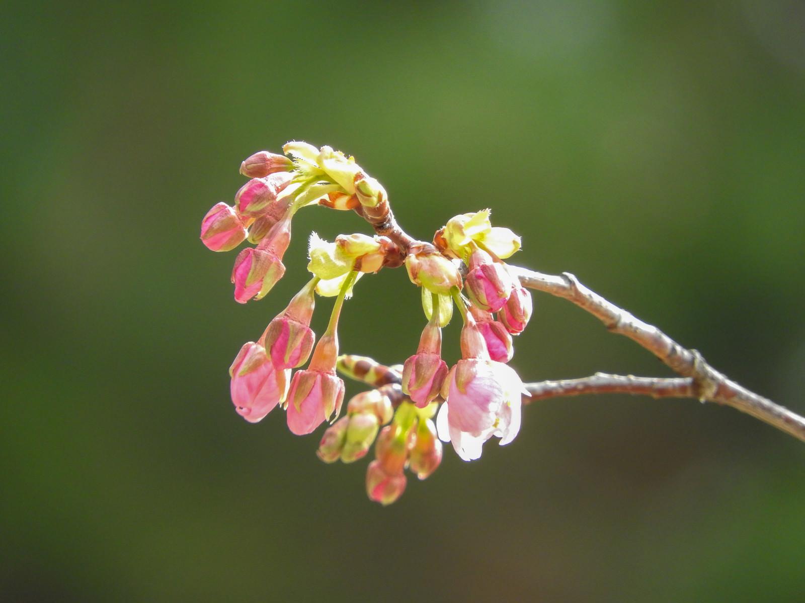 「花開き始めた河津桜」の写真