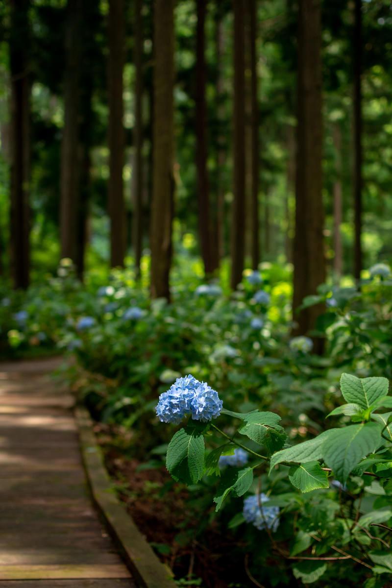 「木漏れ日を浴びる一輪の紫陽花(アジサイ公園)」の写真