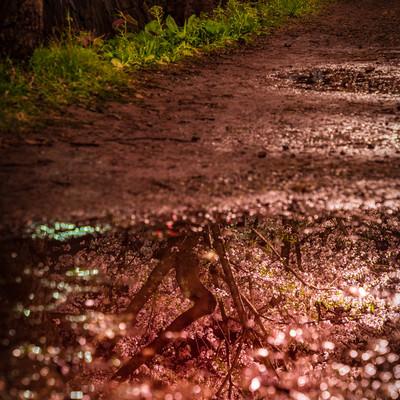 水たまりの中に咲く桜の写真