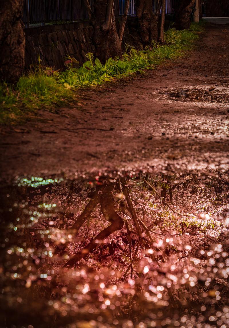 「水たまりの中に咲く桜水たまりの中に咲く桜」のフリー写真素材を拡大