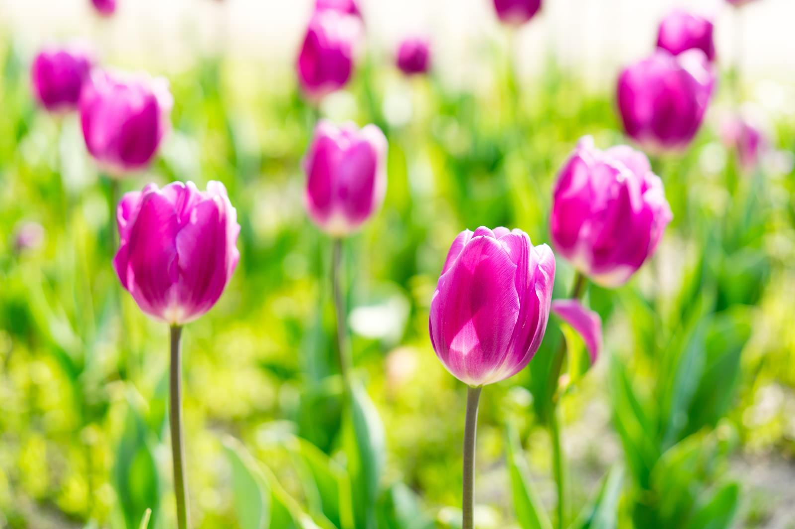「紫色のチューリップ(春)」の写真