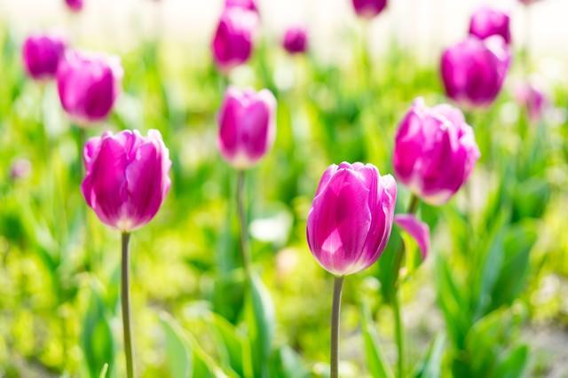 紫色のチューリップ(春)の写真