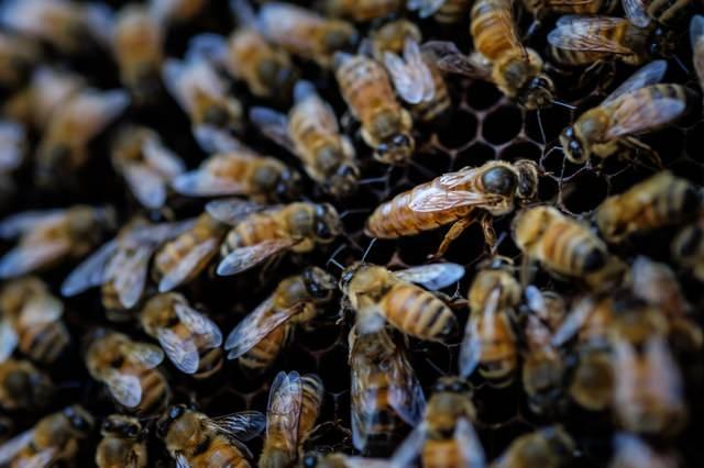 女王蜂に群がる働き蜂(ロイヤルコート)の写真