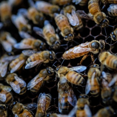 「女王蜂に群がる働き蜂(ロイヤルコート)」の写真素材