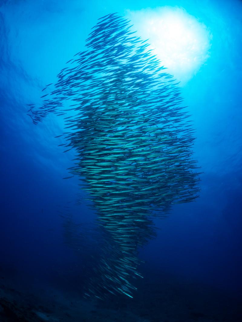 「ひとつの魚のように群れて泳ぐホソカマス」の写真