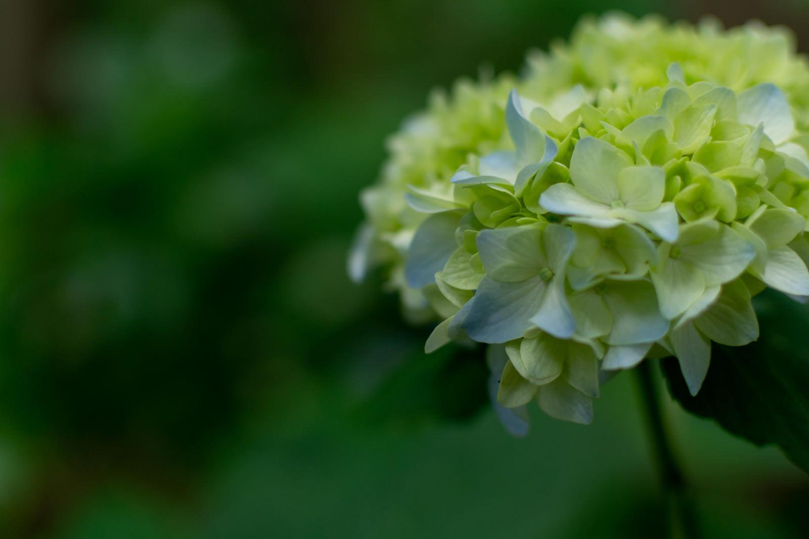 「紫陽花の花序(アジサイ公園)」の写真