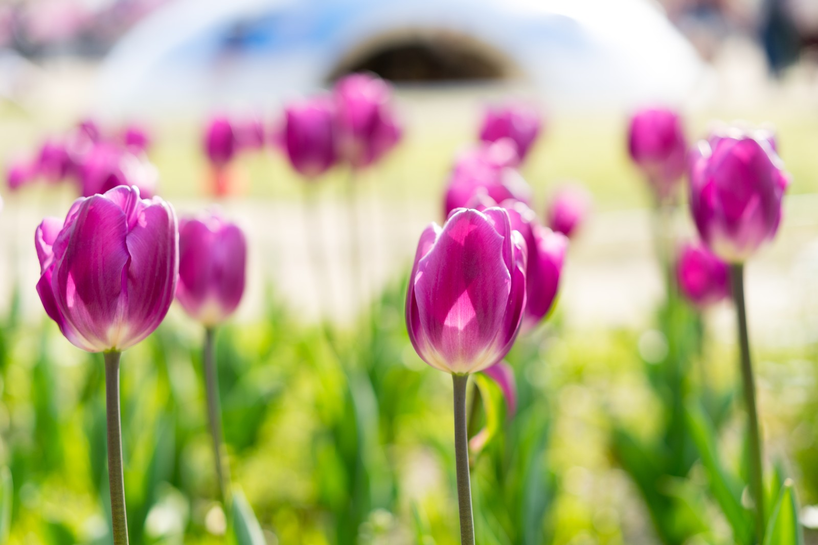 「春と花壇のチューリップ」の写真